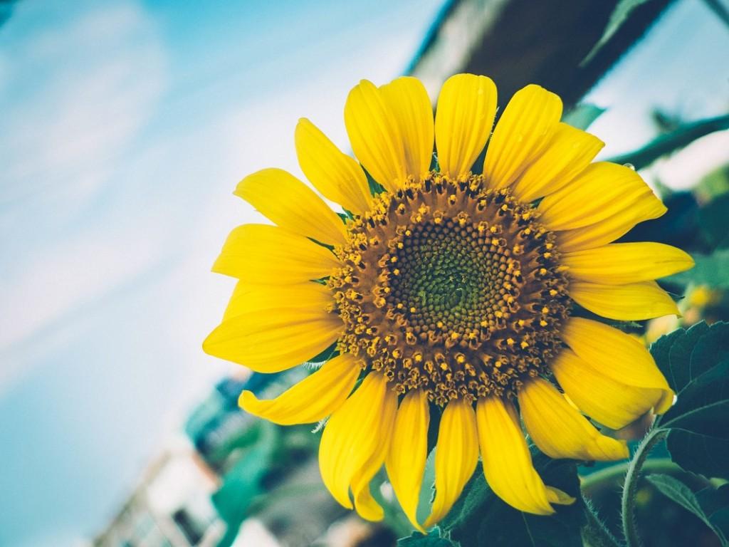 sunflower-1060